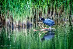 Coot (Raginmund) Tags: coot water bird waterbird reeds reflections essex rspb
