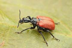 Apoderus coryli (Radim Gabriš) Tags: coleoptera curculionoidea attelabidae apoderus apoderuscoryli weevil beetle insect macro macrophotography