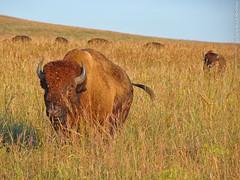 Bison at Tallgrass Prairie, 18 Sept 2016 (photography.by.ROEVER) Tags: kansas prairie tallgrassprairie chasecounty flinthills tallgrassprairienationalpreserve nationalparkservice park 2016 september september2016 roadtrip dayroadtrip sunday color colour colors colours nature bison americanbison buffalo usa