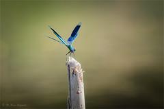 banded demoiselle (klaus.huppertz) Tags: heilbronn insekt insect damselfly dragonfly tier animal fauna prachtlibelle gebänderteprachtlibelle odonata calopterygidae makro macro tele telephoto 300mm natur nature wildlife outdoor bandeddemoiselle calopteryxsplendens blau blue pond teich wasser water nikon nikond7000 d7000 nikkor 300mmf28gvrii nikkor300mm28 nikonafsvrnikkor300mmf28gifed nikonflickrtrophy