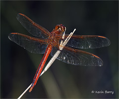 Scarlet Skimmer (Kevin B Photo) Tags: kevinbarry scarletskimmer palmbeachcountyflorida red insect dragonfly southern morning daytime small macro closeup summer summertime