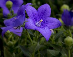 7P7A4752-Edit-Edit (Mark Ritter) Tags: floral flora flowers closeup macro nature garden