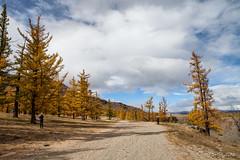 Chuluut Gorge 9359 (Ursula in Aus) Tags: mongolia wtf asia autumn larch trees chuluutrivergorge chuluutgorge