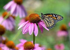 My friends are back! (KsCattails) Tags: botanicalgarden butterfly coneflower echinacea flower garden insect kscattails macro monarch overlandparkarboretum summer