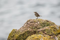 Rock Pipit (_John Hikins) Tags: rocks bird sigma cornwall lands end landsend nikon d5500 150600mm 150600c 150600 animal nature wildlife