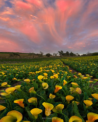 Sky Fall (rootswalker) Tags: callalily monsoon clouds sunset centralcalifornia centralcoast virga flowers distagont2821 carlzeiss21mm flowerfarm