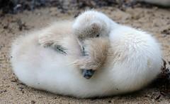 Ich mag nicht mehr (schon wieder regnet es.) (♥ ♥ ♥ flickrsprotte♥ ♥ ♥) Tags: schwan baby kleinerstrand kiel fiddelbay sommer juli natur flickrsprotte