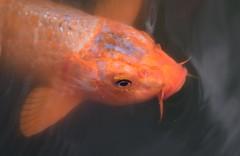 (Gerlinde Hofmann) Tags: germany bavaria franconia town erlangen fish koi pond botanicalgarden