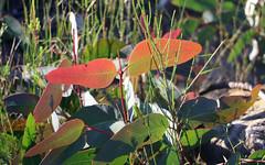 Scribbly Gum juvenile (Eucalyptus haemastoma) (Poytr) Tags: kuringgaichasenationalpark eucalyptus myrtaceae scribblygum leaf juvenile redleaf
