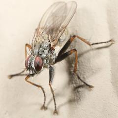 Fly IV (Rotifer) Tags: insect macro fly montana libbymontana libbymt canon5dmkiv canonmpe65mm canonmpe65