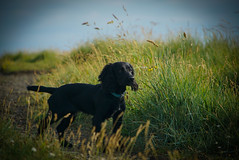 Izzy portrait (debbiehornsby@ymail.com) Tags: dogs dog dogphotographer dogportrait sony sonya6000 coast maryport pup puppy