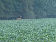 McKee-Beshers Wildlife Management Area Jul 17, 2017, 6-014 (krossbow) Tags: marylanddnr deer fog lumix maryland marylanddepartmentofnaturalresources mckeebeshers mist montgomerycounty morning panasonic photolemur poolesville summer sunrise tz90 wildlifemanagementarea wma zs70