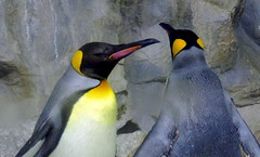 With A Friend (Khaled M. K. HEGAZY) Tags: nikon coolpix p520 singapore jurongbirdpark emperorpenguin nature indoor closeup red yellow blue white violet black bird