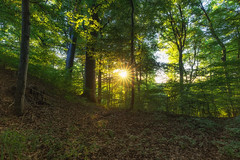 STARing at the sun (der_peste) Tags: sunstar sunset sundown forest trees treemendous woods woodland timber timberland soil duff leaves green backlight sonya7m2 canonef16354lis sigmamc11 bayern bavaria germany deutschland wald sonnenuntergang