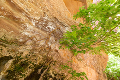 The miracle tree (mfeingol) Tags: utah hildale watercanyon maple tree