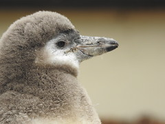 Humboldt's penguin chick (blue33hibiscus) Tags: bird humboldtspenguin chick penguin paradisepark hayle cornwall
