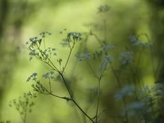 Douceur en sous-bois *---- ----° (Titole) Tags: anthrisquedesbois anthriscussilvestris titole nicolefaton bokeh green challengegamewinner