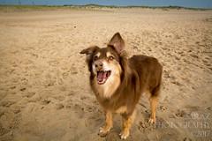 SZP_8831_pslr5 (Lakeside Annie) Tags: 2017 20170719 aussie australianshepherd bethanybeach bethanybeachde bethanybeachdelaware d7100 delaware denali july19 leannefzaras nikon nikond7100 redtri redtriaussie sarazphotography sigma sigma1770mm wednesday beachdog dog sandynose sandypaws beach delawarebeach