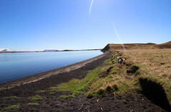 IMG_3246 (chr k) Tags: black sand ocean myvatn lambs nature freedom iceland