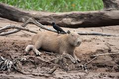Capybara with Giant Cowbird (Marek Stefunko) Tags: newworld giantcowbird amazonia rainforest tambopata neotropical capybara peru hydrochaerishydrochaeris tropical