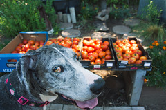 Day 199 ~ too many tomatoes! (champbass2) Tags: day199 2017 summer vegetables tomatoes abundance dog greatdane familypets 1992017