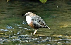 Dipper (Bogger3.) Tags: dipper aquaticbird feedingunderwater river fastmoving songbird standingintheriver canon600d tamron150x600lens fullzoom handheld coth