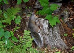 2017-07-23 Blending in (tsegat01) Tags: htt treetrunk squirrel nature gray