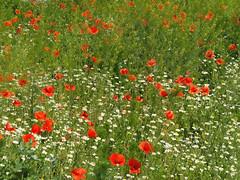 Mak maki Mohnblumen (arjuna_zbycho) Tags: mak maki makpolny czerwonemaki kwiatypolne mohn mohnblumen coquelicots pavots popyflower popy klatschmohn papaverrhoeas mohnblume klatschrose cornpoppy cornrose fieldpoppy flanderspoppy redpoppy redweed közönségespipacs vetésipipacs papaverocomune rosolaccio gatunekleczniczy heilpflanze hausmittel kwiat blume flower fleur popies fleurs natur flora