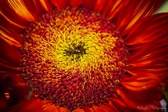Sunflower IMG_6186-1 (matwith1Tphotography) Tags: matwith1t canon eos70d 70d sunflower colorful bright flora 7dwf macro macrophotography 100mm