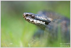 Vipera berus (Thor Hakonsen) Tags: euroepanadder viperaberus hoggorm huggorm adder snake viper viperidae reptile etne norway hordaland