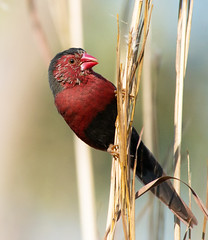 Crimson Finch at home_4443 (Jen Crowley Photography) Tags: bird finch crimson crimsonfinch berrysprings nt northernterritory nikon
