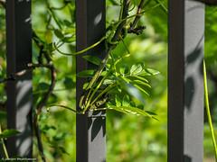 HFF - Fenced Friday - Licht und Schatten (J.Weyerhäuser) Tags: hechtsheim test hff fencedfriday zaun licht schatten
