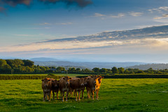 Mooving Sunset (Sammy SJN Photography) Tags: sunset uk wales nature canon sigma beautiful cow