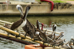 """Pelicans. (Zahid - Super Slow net. But will be back soon) Tags: bird water nature lake river pool outdoors feather beak wing reflection wild sea beautiful pelican rope weather mexico tampico warm hot ship """"depthoffield"""" x many numbered red yallow details """"nikond500"""" """"nikond70200f28vrii"""" """"handheld"""" moooring bokeh depthoffield closeup aquaticbird"""