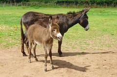 Mum & Foal Donkey (Bogger3.) Tags: donkey foal 5weeksold farm sunnyday panasonicdmcfs35 coth5