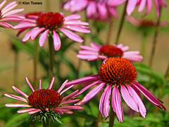 Bright and Colourful Purple Coneflowers - Quinte West, Ontario (Kim Toews Photography) Tags: bright daisylike purple coneflower plant blooms blossoms outdoor ontario garden perennial pink flora flower nature echinacea