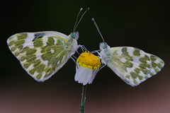 Couple of Pontia daplidice (JoseDelgar) Tags: insecto mariposa pontiadaplidice 425864818732873 josedelgar naturethroughthelens thegalaxy