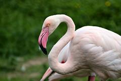Flamingo (crafty1tutu (Ann)) Tags: travel holiday 2017 unitedkingdom uk england norfolk pensthorpenaturereserve animal bird flamingo pink crafty1tutu canon7dmkii ef100400mmf4556lisiiusm anncameron naturethroughthelens