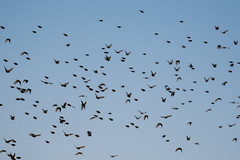 Flying up (knipslog.de) Tags: birds group flying botswana botsuana safari adventure wildlife wild animals selfdrivesafari