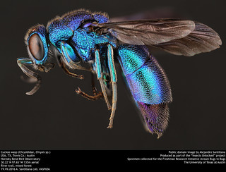 Cuckoo wasp (Chrysididae, Chrysis sp.)