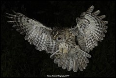 Tawny Owl about to catch prey (Thomas Winstone) Tags: tawny owl raptor bird prey tallons feather feathers wings night canon photography avian canonuk 300mm28mk2 birds wales uk countryside outdoor 3lt 3leggedthing thomaswinstonephotography tawnyowl aves outdoors wildlife nature wildbirds woodland woods forest
