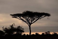 It Was So Still That Morning (The Spirit of the World) Tags: acaciatree tree bush brush africa kenya eastafrica amboseli gamereserve gamedrive nationalpark nature fog mist