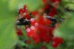 jāņogas (maakone) Tags: redcurrant red berries summer blury