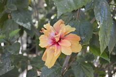 Hibiscus a fiore doppio (costagar51) Tags: mondello palermo sicilia sicily italia italy piante fiori natura bellitalia