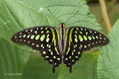 Green-spotted triangle - Graphium agamemnon 500_1313.jpg (Mobile Lynn) Tags: insects nature butterfly captive fauna insect wildlife studleygrange swindon wiltshire uk coth specanimal coth5 ngc sunrays5 npc