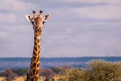 Giraffe, Tarangire Park (jaybles_69) Tags: afrique animaux girafe tanzanie tarengirepark animal africa tanzania animalplanet