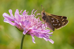 Silver Spotted Skipper. (trevorwilson1607) Tags: silverspottedskipper boxhill surrey butterfly nectaring flower scabius chalkhill countryside outdoors macro closeup purple olympusem5mk2 60mmmacro 320thsec f4 200iso handheld breezy