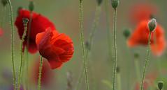 One more Poppy Bokeh (Nephentes Phinena ☮) Tags: commonpoppy fieldpoppy klatschmohn nikond500 sigma50500mmf463