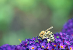she is really into it (Simple_Sight) Tags: bee insect garden blossoms green purple macro closeup summer bokeh ngc npc