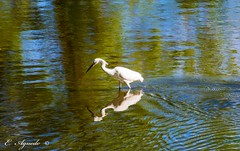 Reflection (E. Aguedo) Tags: reflection heron white feather bird warwick water wild summer cove brush neck ngc colors waves
